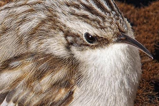 Brown Creeper Closeup DSCF01277