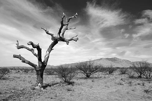 Mescal Hanging Tree 30943B&W