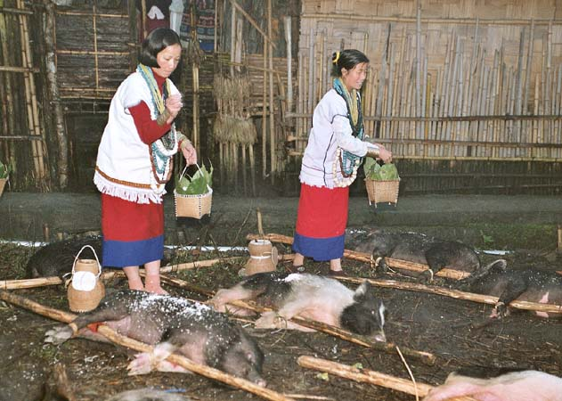 Myoko. Pigs are sprinkled with rice powder. Apatani tribe