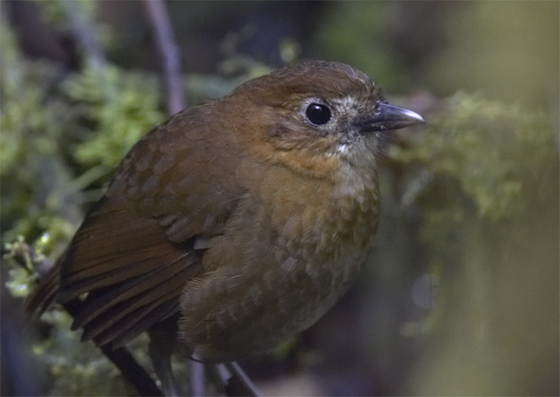 Brown-banded-Antpitta3.jpg