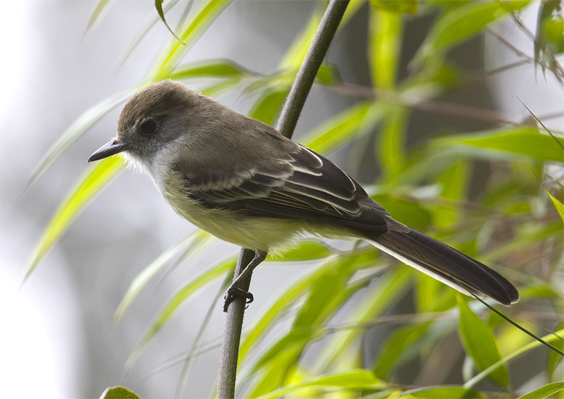 Pale-edged-Flycatcher.jpg