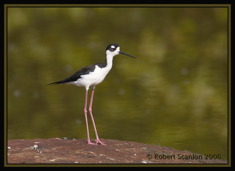 Black-necked-Stilt.jpg