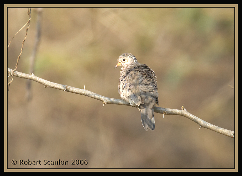 Common-Ground-Dove.jpg
