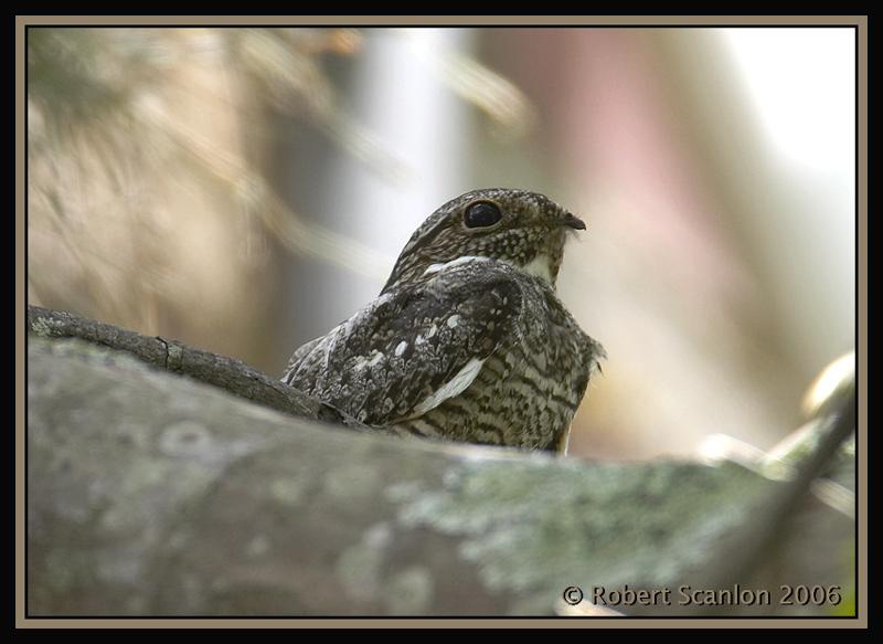 Common-Nighthawk.jpg