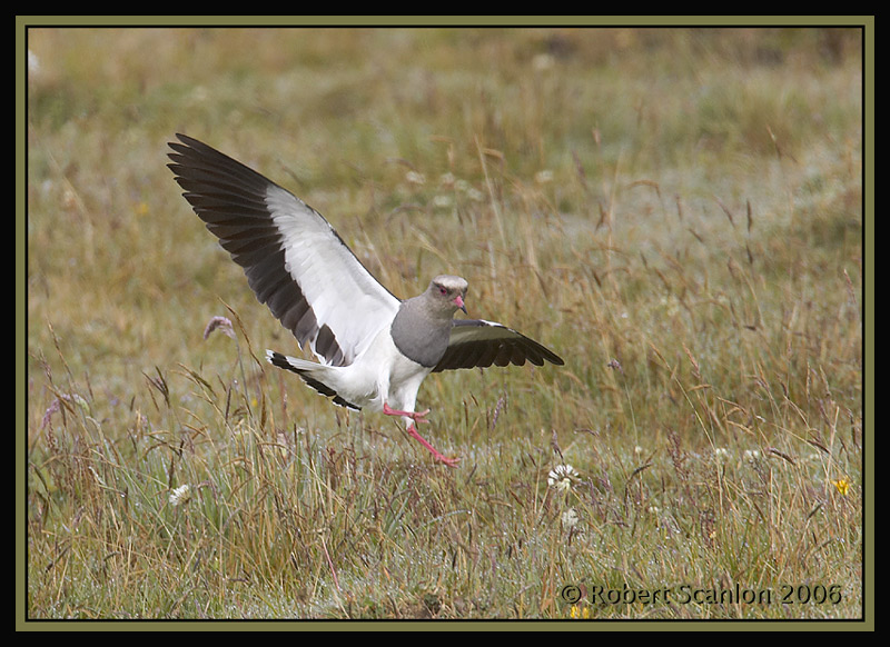Andean-Lapwing-2.jpg