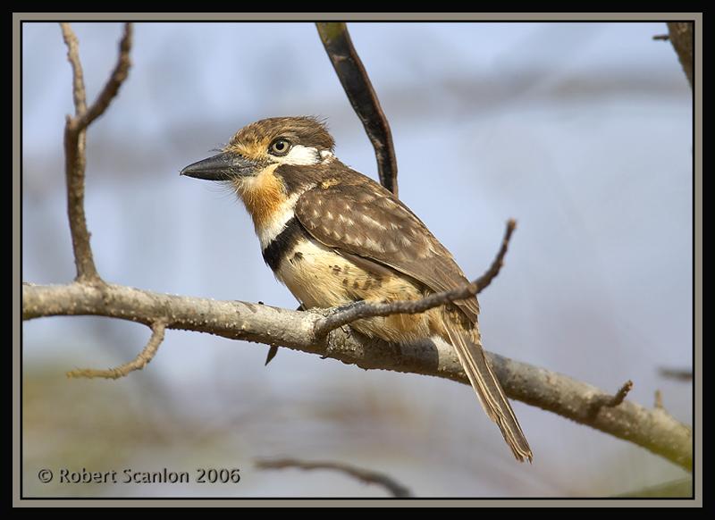 Russet-throated-Puffbird-2.jpg