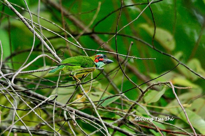 <i>(Psilopogon australis)</i><br />Blue-eared Barbet