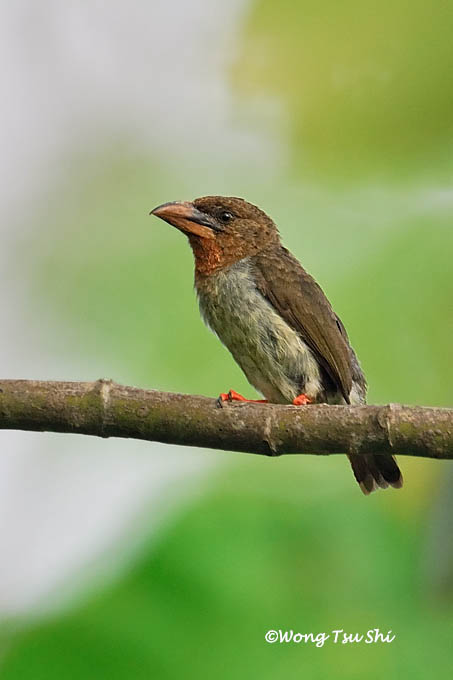 <i>(Calorhamphus fuliginosus)</i><br /> Bornean Brown Barbet