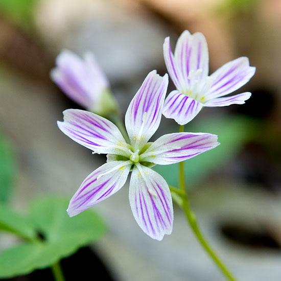 Carolina Spring Beauty 2