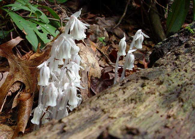 Indian Pipes 1