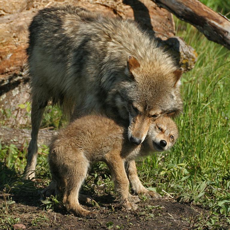 Wolf Nurturing Pup