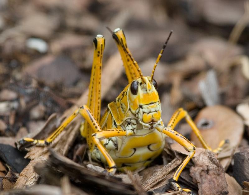 Eastern Lubber Grasshopper Romalea Guttata Laying Eggs Photo Barry Langdon Lassagne Photos At Pbase Com