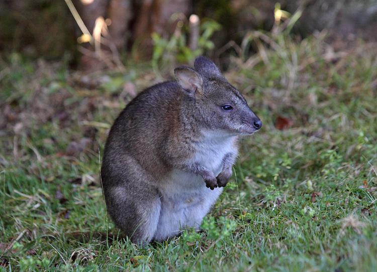 Red-necked Pademelon (Australia)