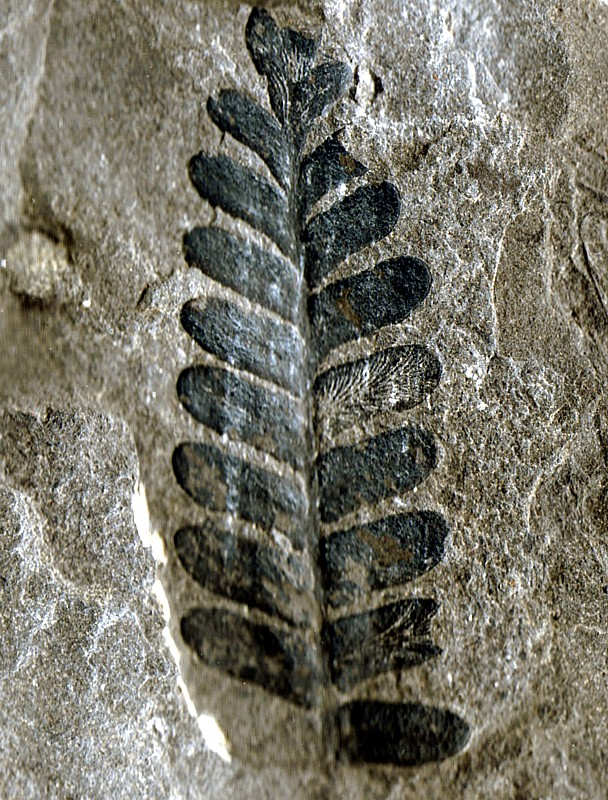fougère fossile