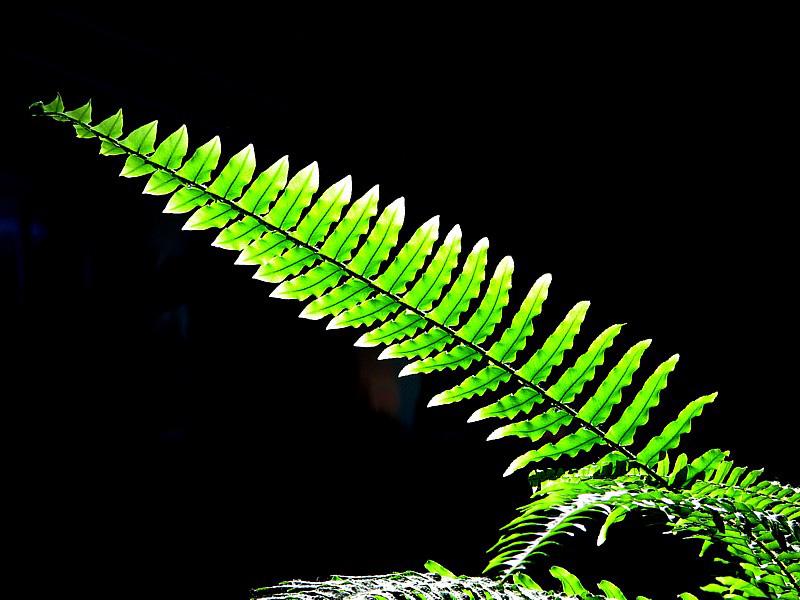 Verte fougère