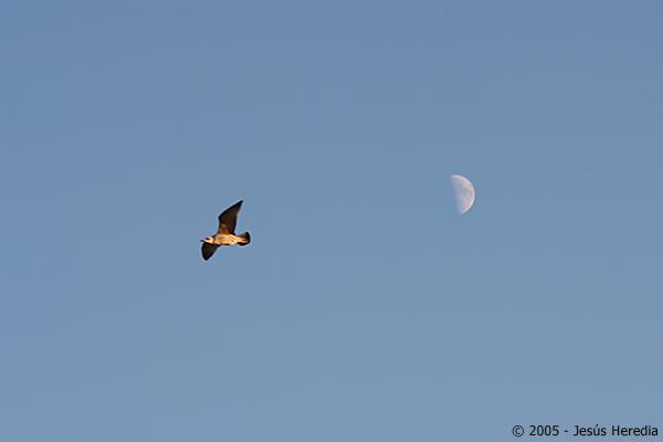 Luna y gaviota