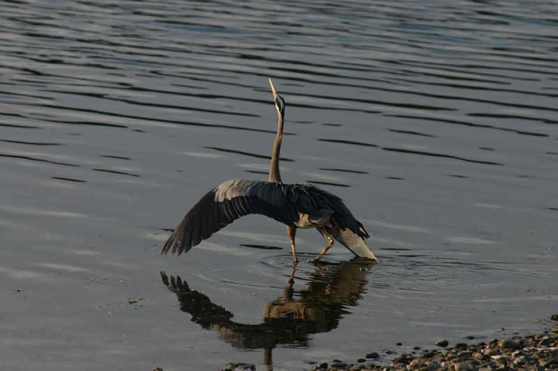 Great Blue Heron - Mating Ritual