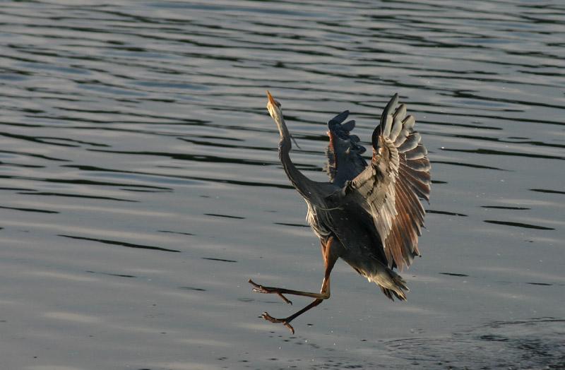 Great Blue Heron - Mating Ritual