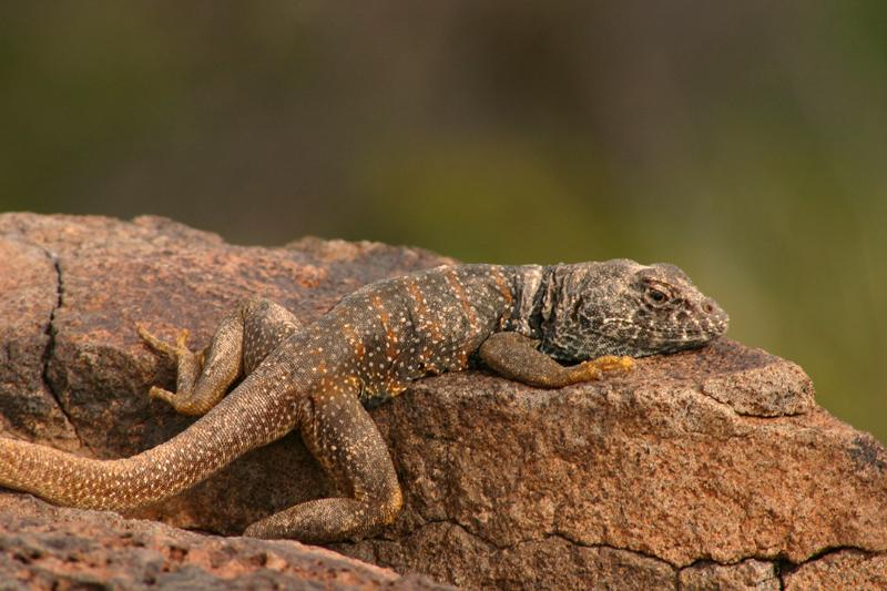 Black Collared Lizard