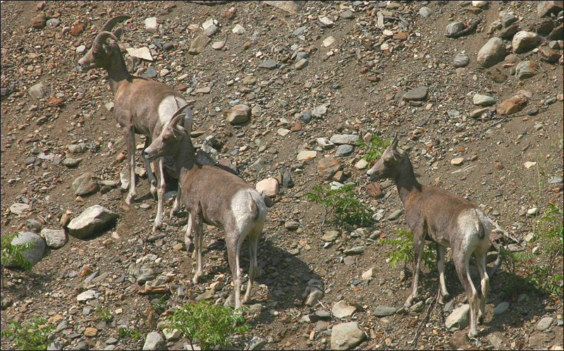 California Big Horn Sheep
