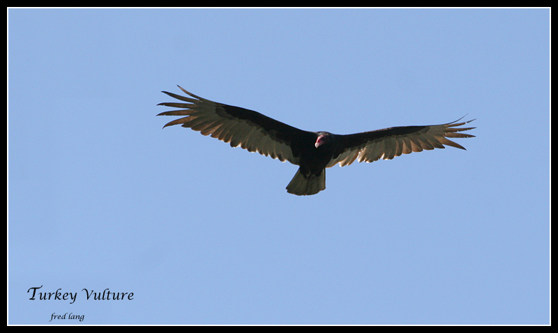 Turkey Vulture - 2