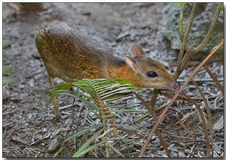 Lesser Mousedeer