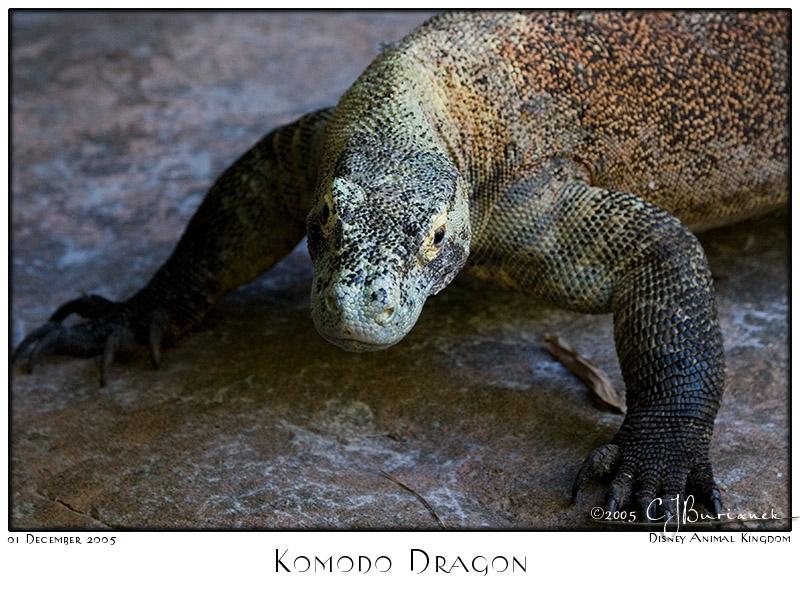 01Dec05 Komodo Dragon - 7861