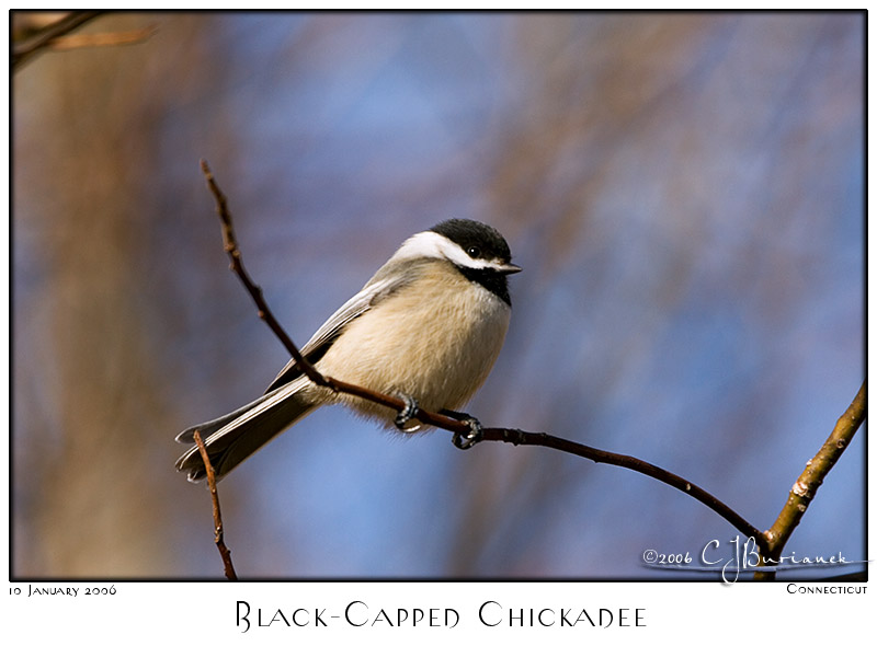 10Jan06 Black-Capped Chickadee - 9712