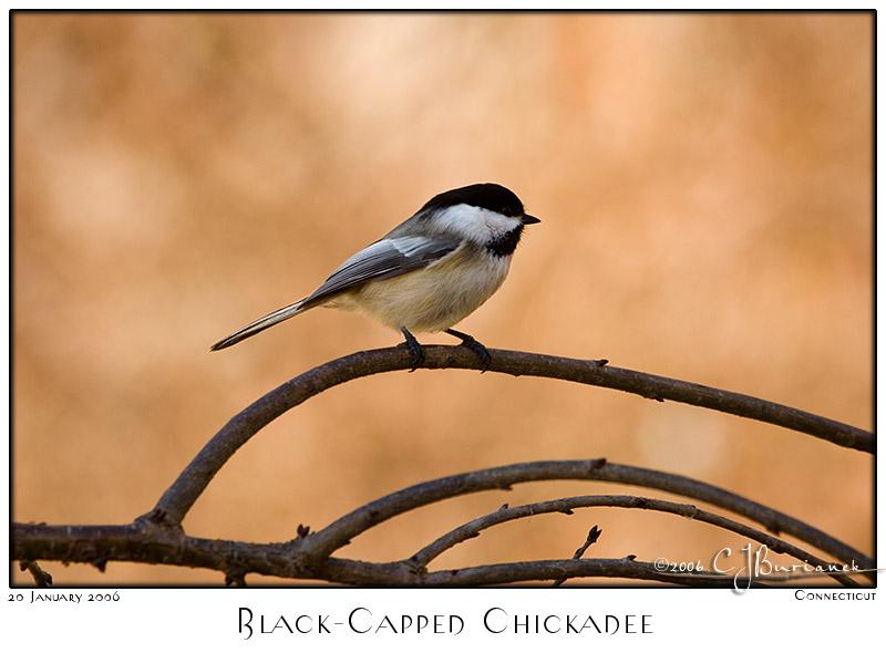 20Jan06alt BlackCapped Chicadee - 9846