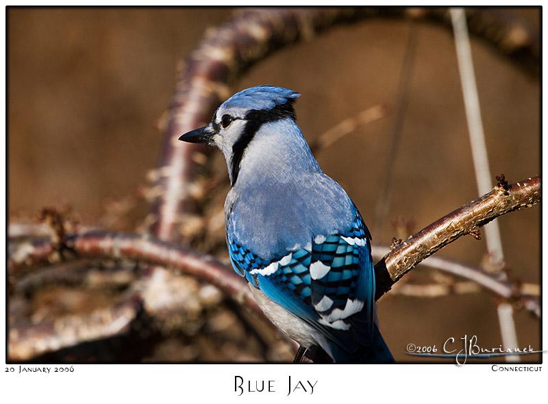 20Jan06 Blue Jay - 9849