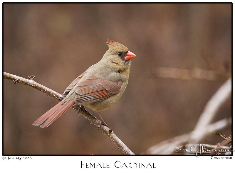 30Jan06 Female Cardinal - 9948