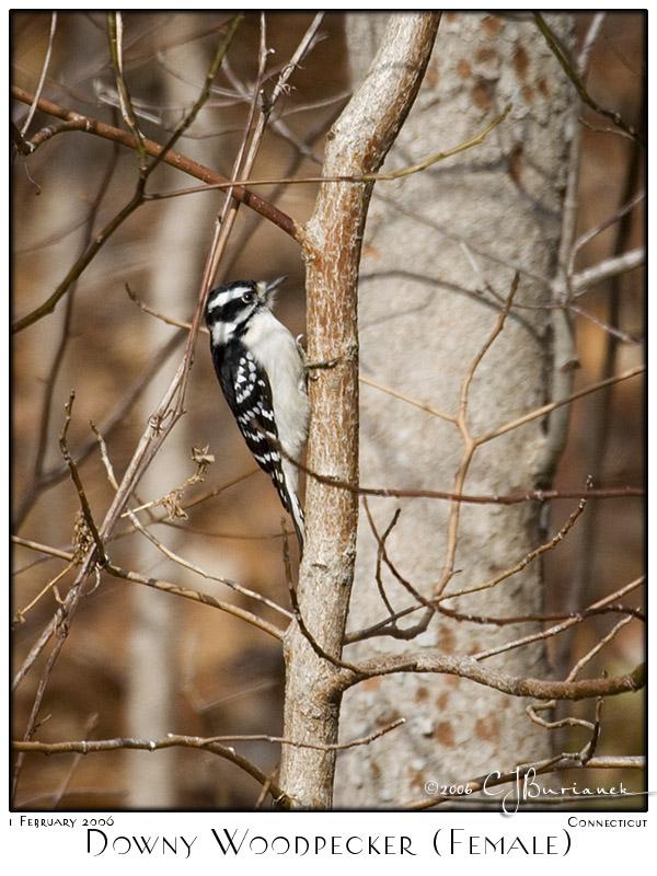 01Feb06 Downy Woodpecker - 9977