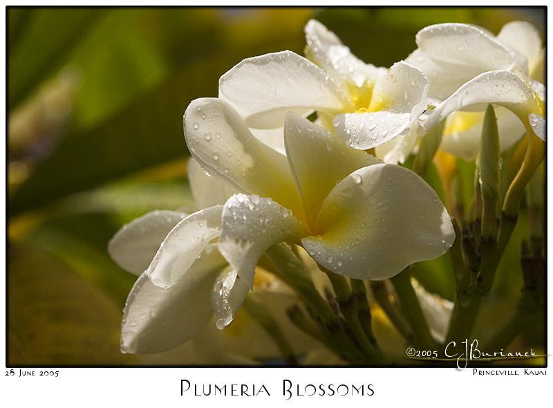 28Jun05 Plumeria Blossoms - 2670