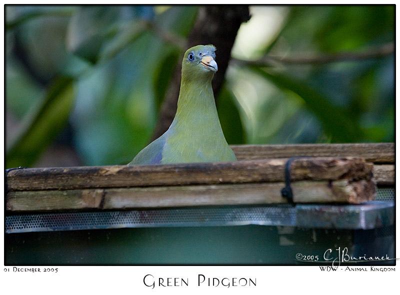 Green Pidgeon - 7819 05Dec01
