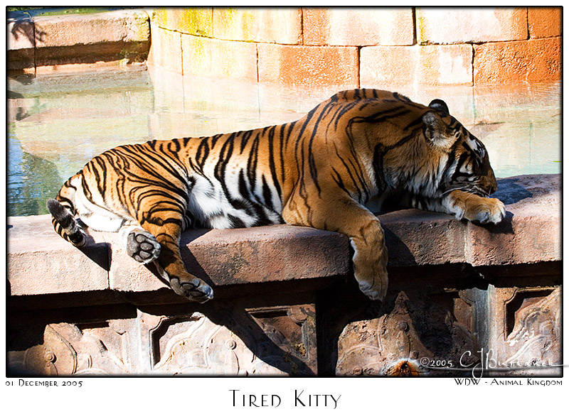 Tired Kitty - 7879 01Dec05