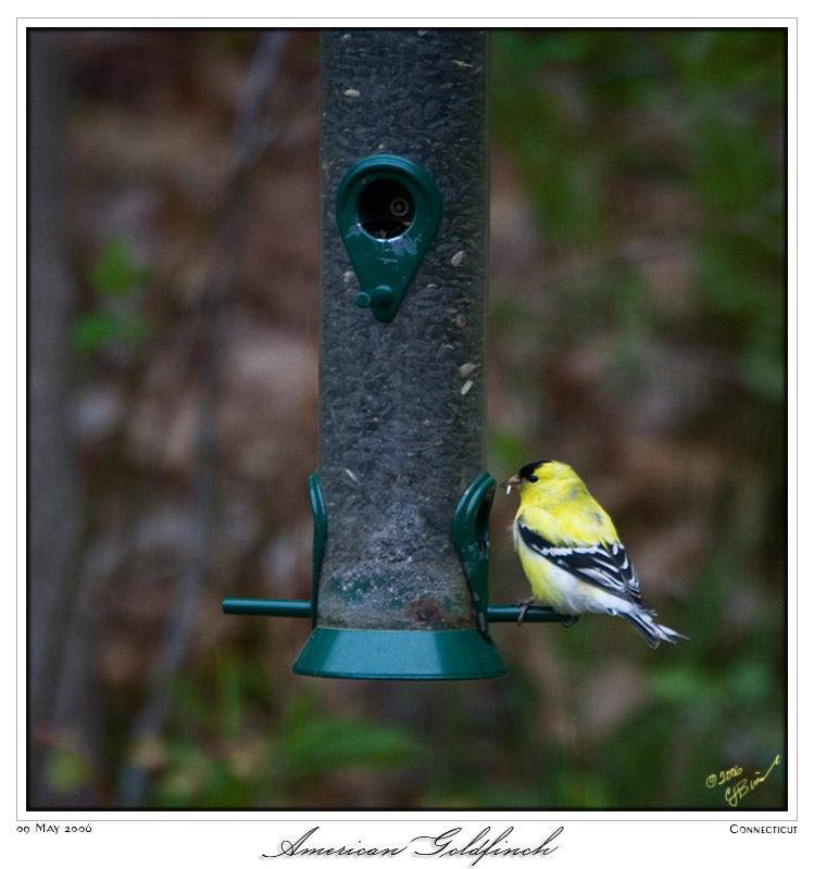 09May06 American Goldfinch - 11016