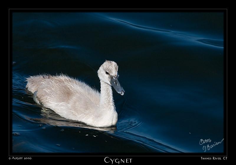 09Aug06 Cygnet - 13227
