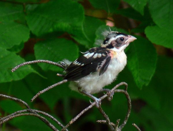 fledgling rose-breasted grosbeak 2