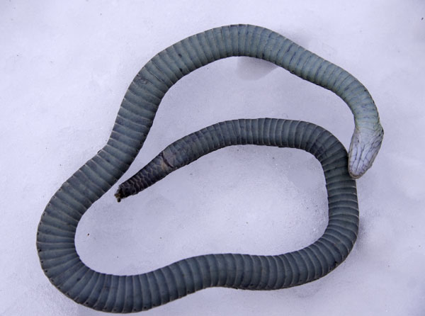 Dead snake underside