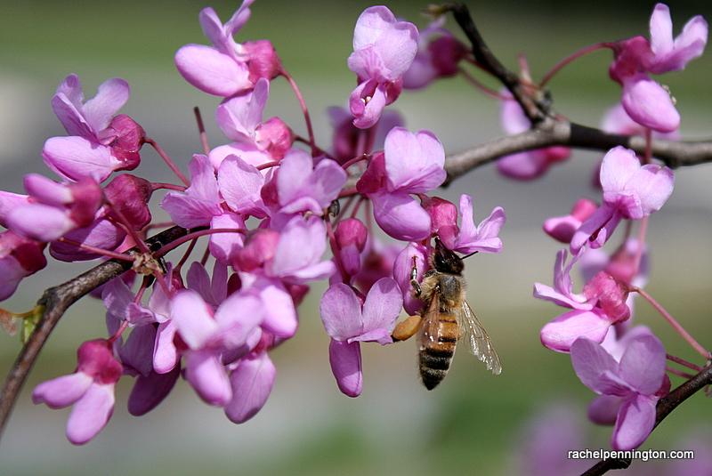 Bee On A Redbud