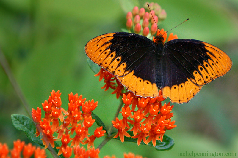 Diana Fritillary Butterfly, Male