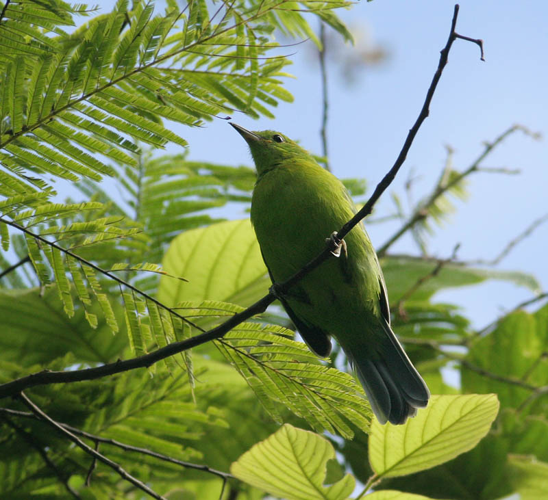 Blue-winged Leafbird, female