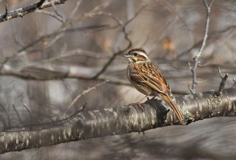 Meadow Bunting,
