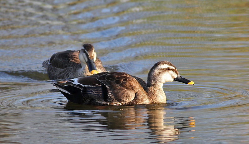 Eastern Spot-billed Duck (Chinese)
