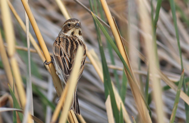 Common Reed Bunting