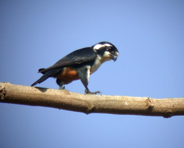 Black-thighed Falcon