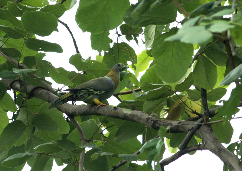 Yellow-footed Pigeon
