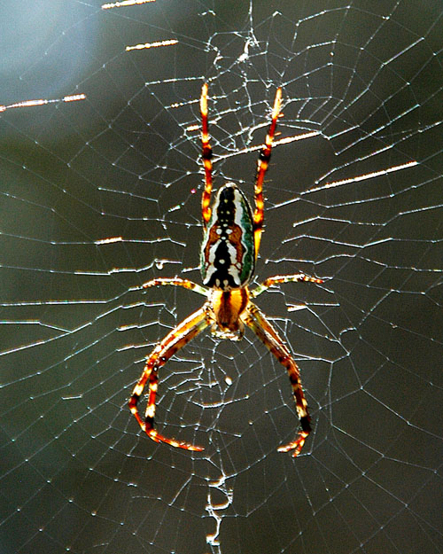 Orb Weaver Spider - Ku-ring-gai Chase National Park