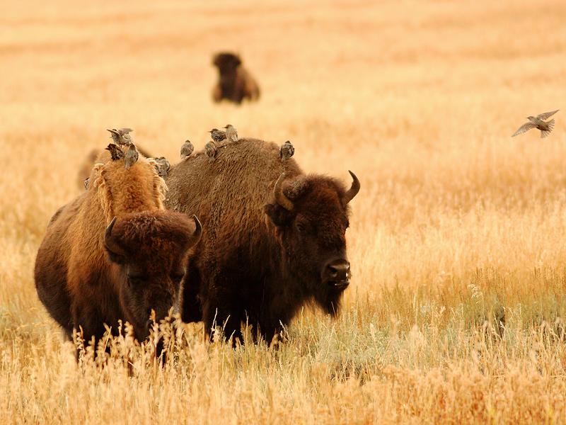 Bison 5