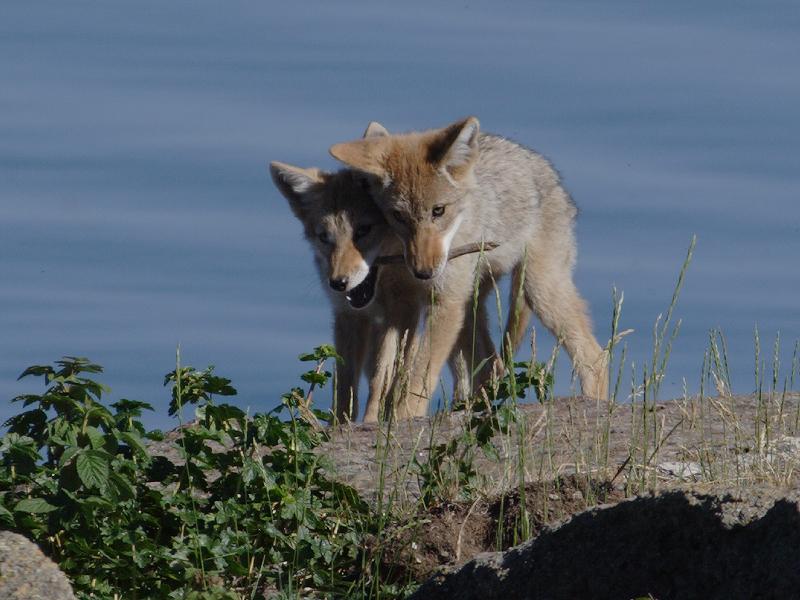 Coyote 110